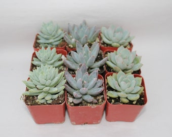 "SAMPLE 3 Beautiful 2""  Rosettes potted succulent wedding favor gift"