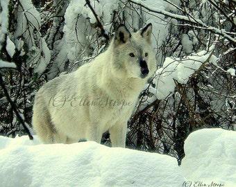 PHOTO CARD, wolf, wolf card, snow, note cards, Ellen Strope, castteam, wildlife decor, cabin decor, rustic decor,wolf decor, lodge decor