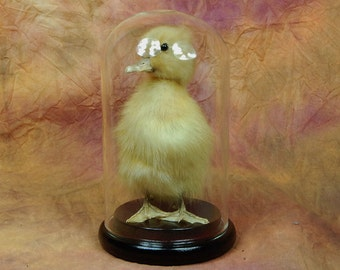 taxidermy of duckling mounted with glass case,free shipping to everywhere