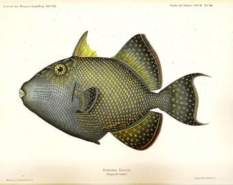 Vintage FISH PRINT 1990 Art Book Plate 104 Antique Painted in 1785 Beautiful rippled Triggerfish Fish Wall Nature Hanging Picture