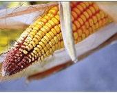 Harvest Corn. Folded Photo Note Card