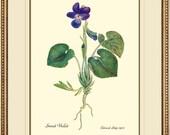 Violet Antique Botanical print reproduction