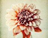 still life photography, flower photograph, contemporary, peach, pink, dahlia, vintage, shabby chic - Peachy, photography print