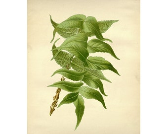 Vintage Botanical Floral Leaf/Greens Series Plate 10 Digital Download: 8x10, specimens, vintage-look, printing and framing, decoupage