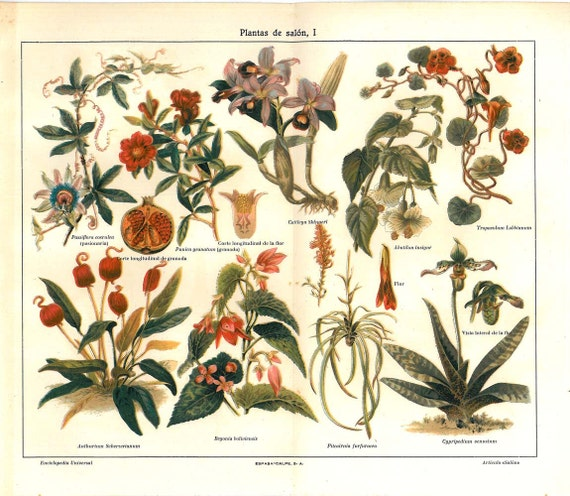 Antique Botanical Lithograph Flowering Houseplants Print 1920s Indoors Plants, Passion Flower