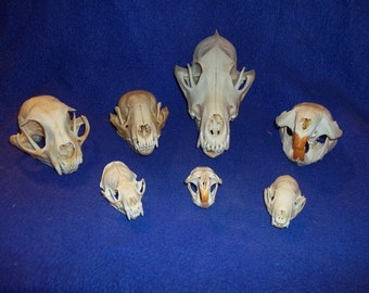 7 Real animal bone Skull parts Coon Skunk Muskrat Mink Beaver Coyote Bobcat teeth jaws man cave crafting home decor collectible
