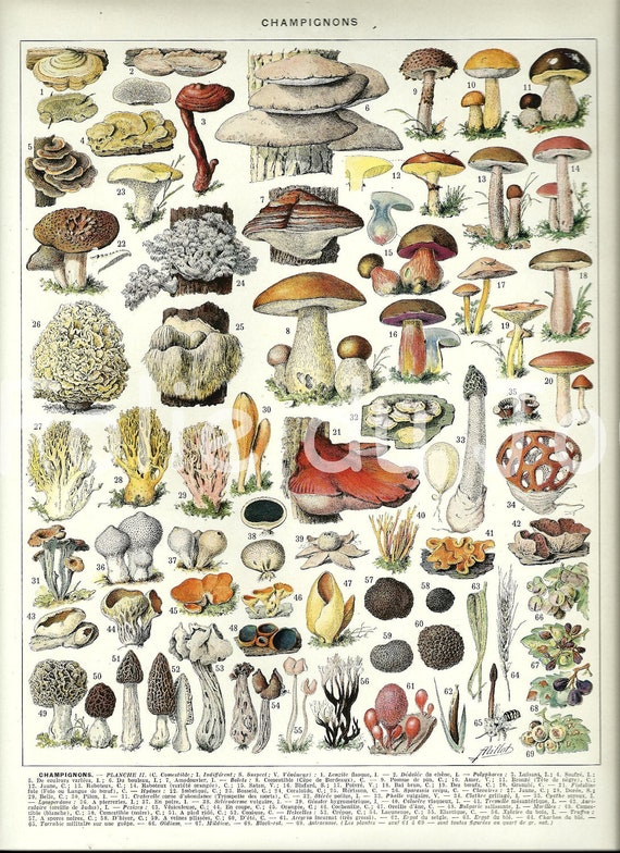 Mushrooms Vintage French Dictionary Botanical Poster Page
