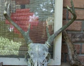 Deer Skull Antlers Bone weathered with moss patina with teeth 8 POINT