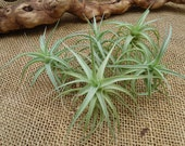 5 Pack Tillandsia Bergeri Large Form Air Plants