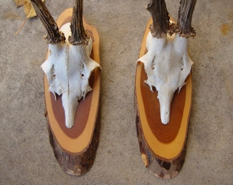 Pair of Mounted Roe Deer Trophies