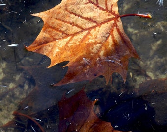 Brown Leaf Floating on Green, Gray Stream, River, Water Original Signed Print by Photographer, Guy Pushée
