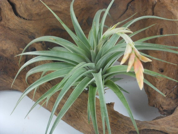 Tillandsia Air Plant -Vernicosa Flowering Plant with Stiff Leaves. Great Gift. Easy Care. Start your Collection Today.