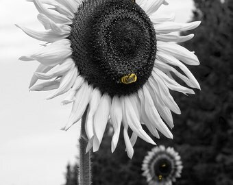Sunflower Bumble Bee black White Yellow Photography Print Print 16x20 11x14 8x10 5x7