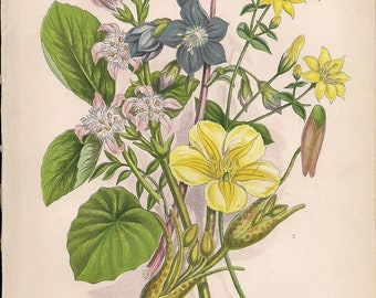 Original Victorian Chromolithograph Floral Picture print c.1900 - Yellow-Wort/Jacobs Ladder