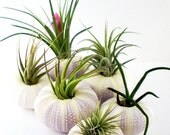 Two Air Plants in Sea Urchin Shells: Set of Two Tillandsia Shell Planters