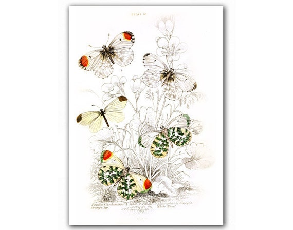 Amazing Butterflies, Natural History illustration printed on Parchment paper. Buy 3 and get 1 FREE, Nursery room art