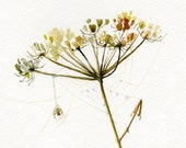 Heloween print, Queen Anne's Lace with a Spider web giclee print of Watercolor Painting, Limited edition Fine Art print