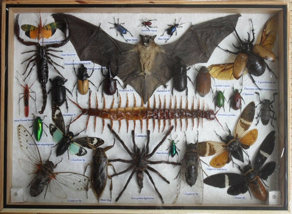 REAL Multiple INSECTS BEETLES Bat Scorpion Spider Centipede Collection in wooden box/big size/is07f