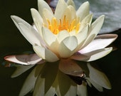 Water Lily, white - Photo Greeting Card - Blank inside - Mounted 4x6 signed photograph - Note Card