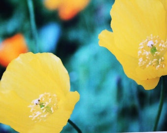 5 x 7 matted photo, yellow poppies, flowers,