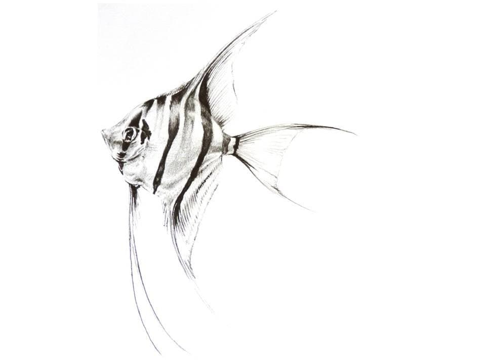 Angel Fish Drawing in Pencil by Lucy Beevor Print