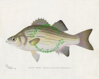 Vintage fish print digital download: White Bass, by S. F. Denton, 1903