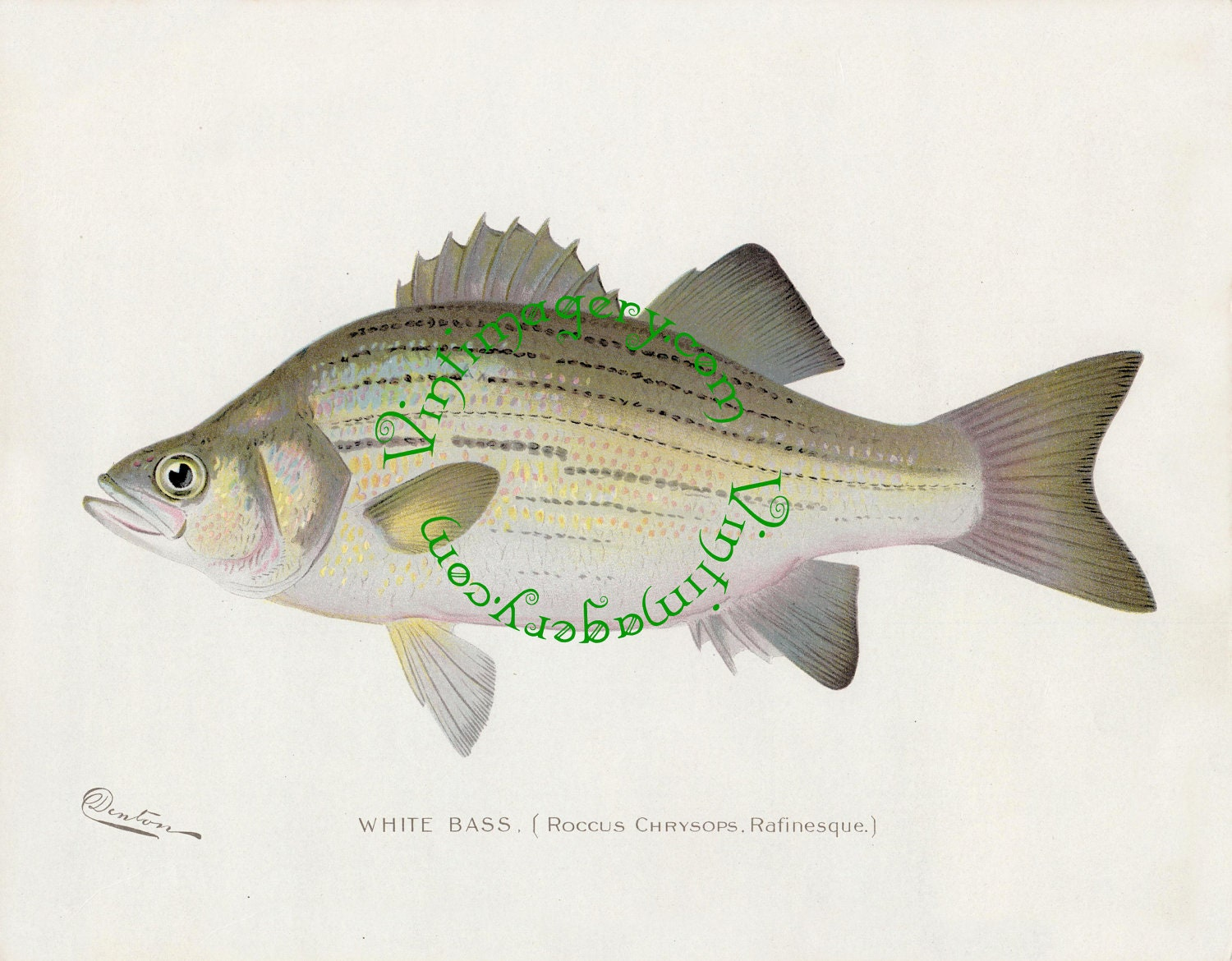 Vintage fish print digital download white bass by s f for Your inner fish sparknotes