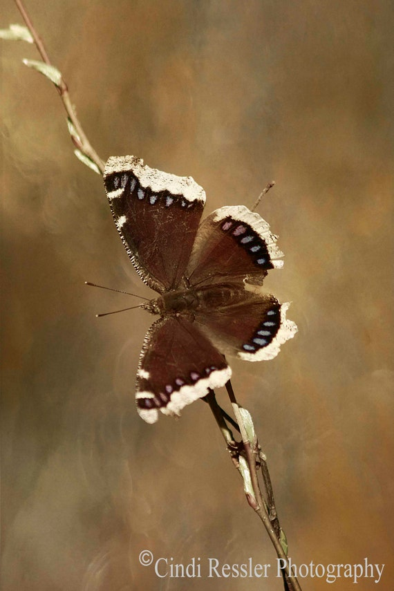 Mourning Cloak Butterfly, Fine Art Photography, Butterfly Photography, Nature Photography