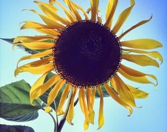Sunflower Photo, Blue Sky, Green Leaves Room Decor Nature Photograph