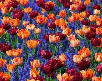 Tulips and Grape Hyacinths  - Vintage Photograph  -  - Fine Art Photography, Photographic Art