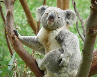 Koala Up A Tree Cross Stitch Pattern from a Vintage Photograph - Fiber art