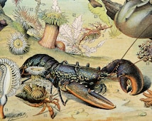 1900 Antique lithograph of SEA LIFE: Lobsters, Jellies, Corals, Algae, Starfishes, Molluscs, Abyssals Fishes. 116 years old print.