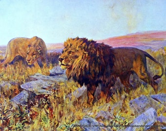 1930s AFRICAN LION and LIONESS Print