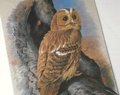Vintage Bird Book Plate Page of Tawny Owl printed 1965 Illustration