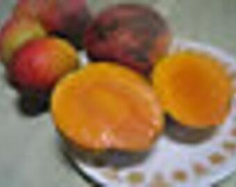 One Grafted Live Mango Fruit Tree 2'- 3' FT Kent,Alphonso,Pim Seng Mum,Keitt,Haden,Bombay,Valencia Pride,