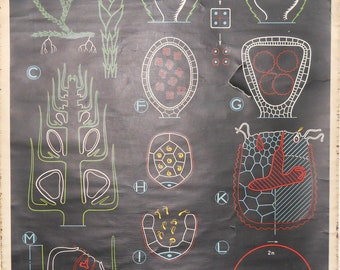 Vintage Belgian School Chart of Algae Cell
