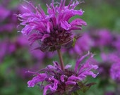 Beautiful Bee Balm, Purple Flower Seeds, Perennial, 25 Seeds