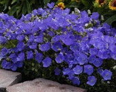 BULK 500 Seeds, Beautiful Blue Tussock Bellflower, Unique Coloring, Perennial