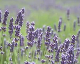 Lavender Vera, True Lavender, Heirloom Flower Seeds, Grow your own, 20 Seeds