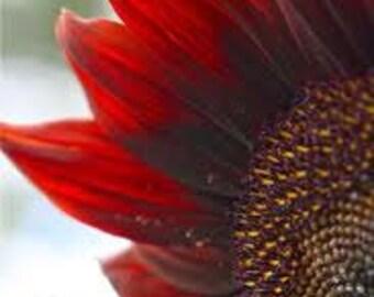 Red Sun Sunflower, 20 Flower Seeds, Attracts Butterflies to the Garden, Cheapseeds