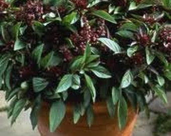 Basil Licorice Herb, Smells Wonderful, 25 Seeds