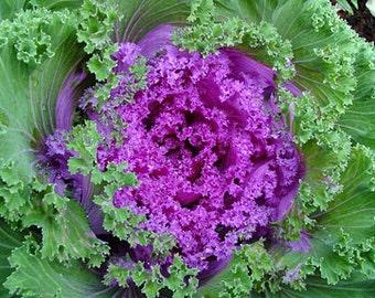 Flowering Kale Seeds, Ornamental, Add Color to Your Landscape, 20 Seeds
