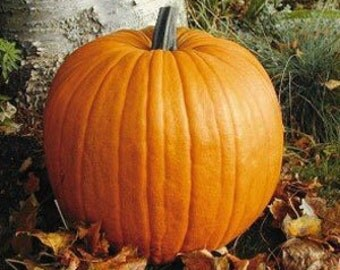 Heirloom Connecticut Field Pumpkin Seeds, Organically Farm Grown, Easy to Decorate, 20 Seeds