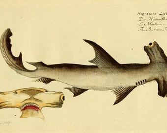 Hammerhead Shark Poster, Shark Art Print From Vintage Scientific Illustration, Natural History Art Home Decor, Marine Life Print, Wall Art