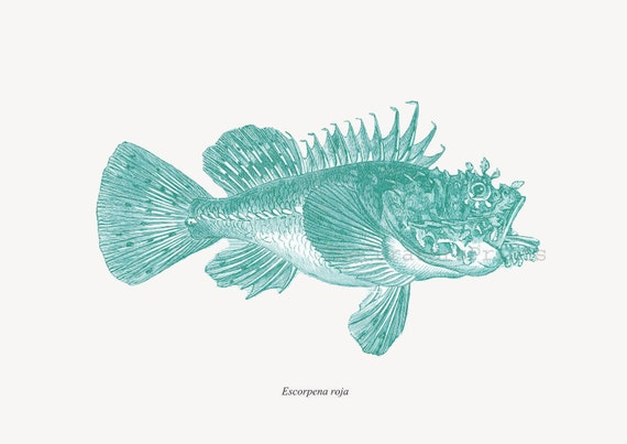 Scorpionfish Print  Recovered Vintage Illustration Cottage Decor