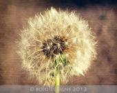 Dandelion Photograph, Nature Photography, 8x10 Photograph