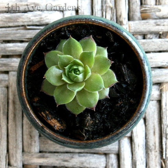 Cooper - A Snappy Succulent In One-of-a-Kind Mini Hand Thrown Planter