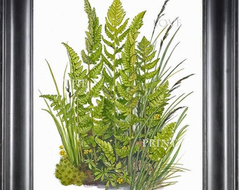 ANTIQUE FERN Lindman 8X10 Botanical Art Print 5 Antique Beautiful Green Ferns Forest Nature Natural Science to Frame Wall Decor