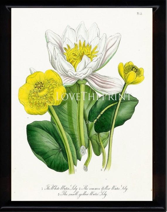 BOTANICAL PRINT Loudon Flower 8x10 Botanical Art Print 76 Beautiful Antique White Water Lily Flowers to Frame