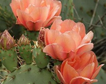 Winter Hardy Prickly Pear Cactus Large Peachy Pink Blossoms